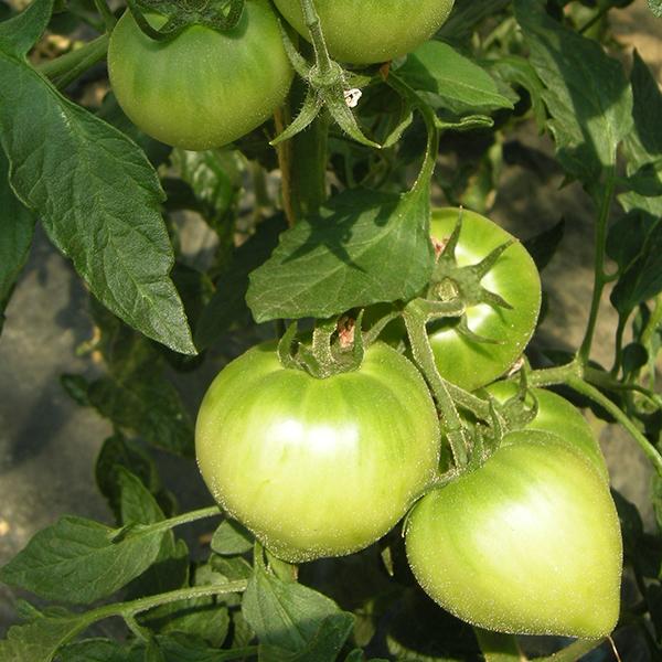 東日本大震災後のトマトの様子2
